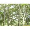 供应江苏南京榉树等多种绿化苗木